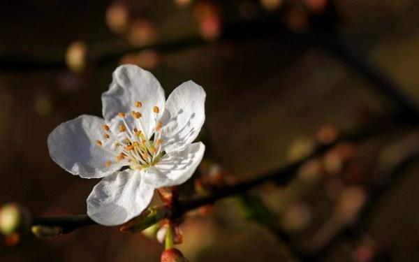 Белый цветок сакуры обои для рабочего стола, картинки и ...