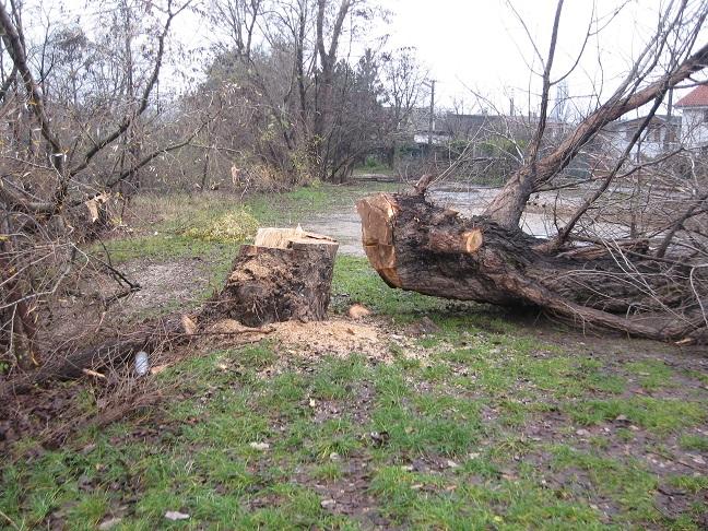 Stromy boli podľa vyjadrenia MČ Vajnory v dobrej kondícii, bez známok závažného poškodenia.