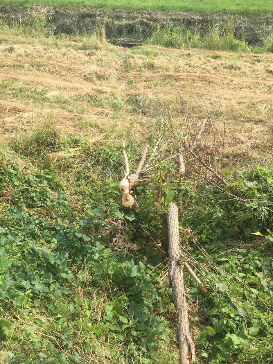 Stopy po prítomnosti bobra sa objavili aj v chotári susedných Vajnôr.