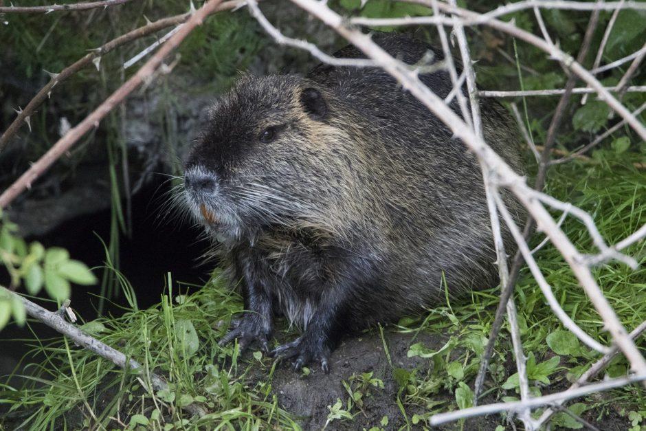 Nutria je menšia ako bobor a patrí medzi dovezené hlodavce.