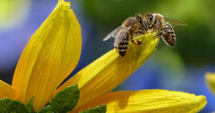 Il veleno delle api uccide le cellule tumorali
