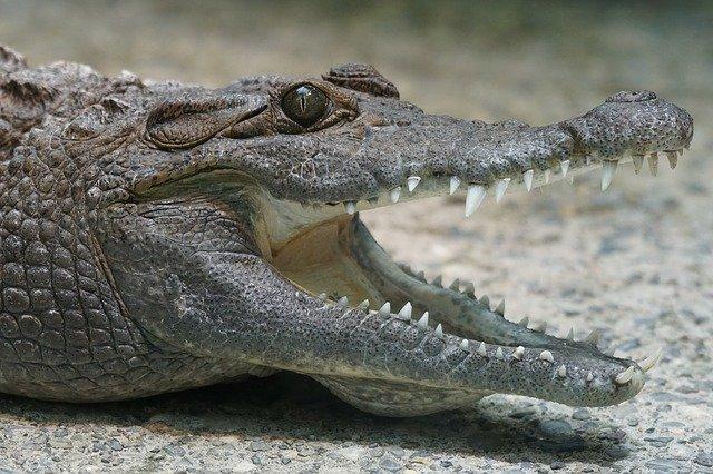 i coccodrilli