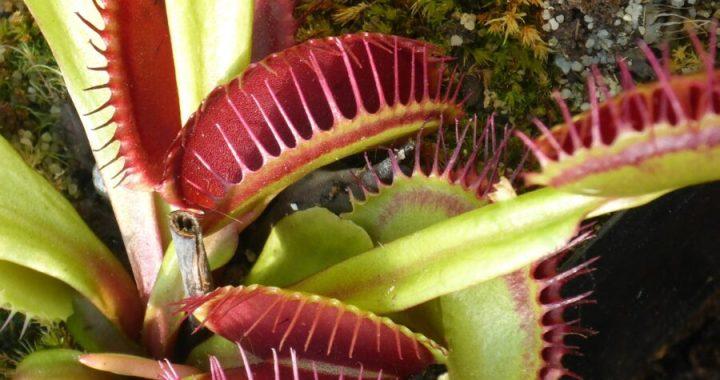 Dionaea muscipula: la venere carnivora
