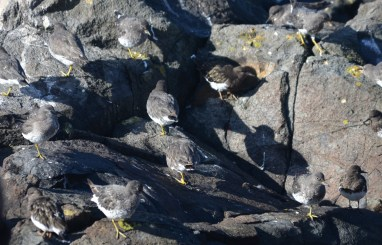 A mixed species flock of Surfbirds and Black Turnstones resting on the south end of Great Race in the evening.
