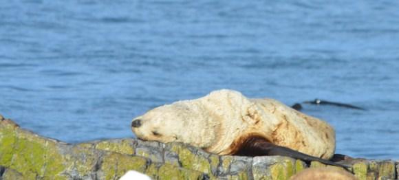 Oldtimer, Stellers Sea Lion in a deep sleep.