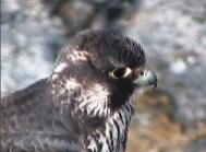 falcone11042015