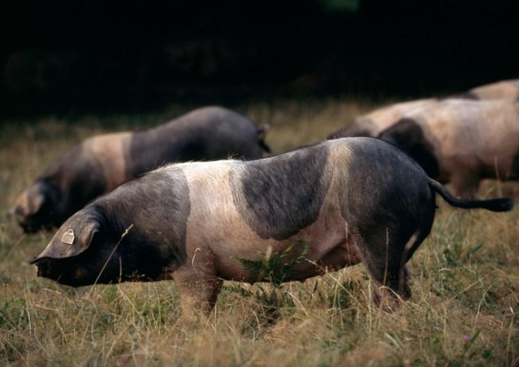 cochon basque
