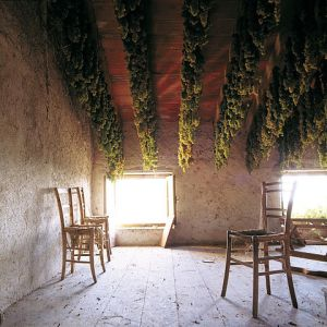 Grapes drying to make wine in Italy