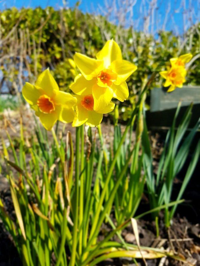 #MySundayPhoto - The Daffodil Days