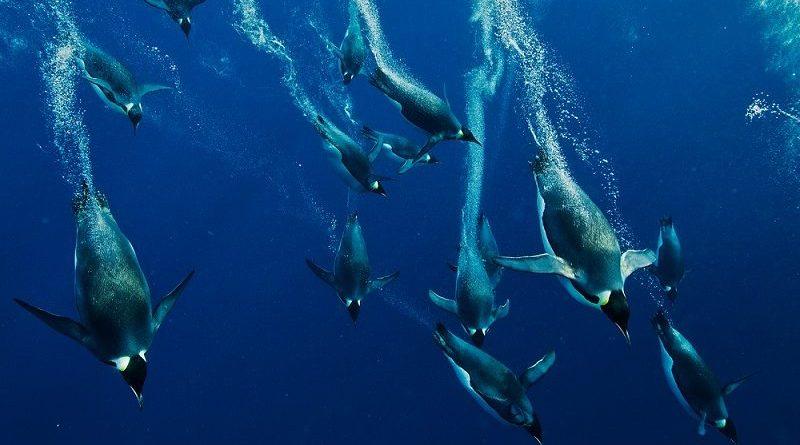 O arquiteto da vida: As penas do pinguim-imperador
