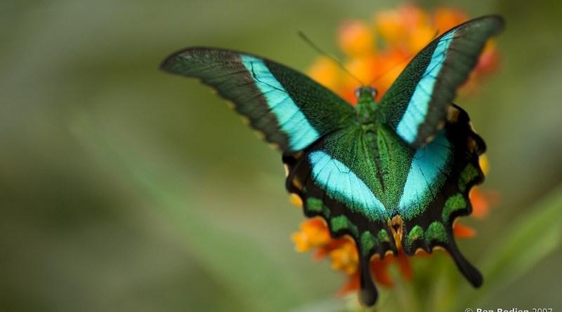 A borboleta Papilio Blumei