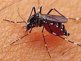 Nyamuk penyebar demam berdarah