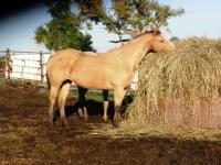 Iowa horse