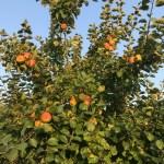 AG Streuobstwiese Apfelbaum in der Abendsonne