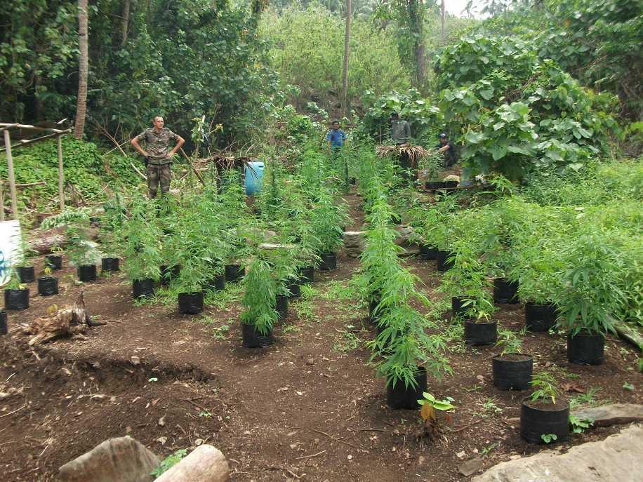 Huahine d couverte de 980 pieds de cannabis radio1 tahiti for Weed plantation exterieur