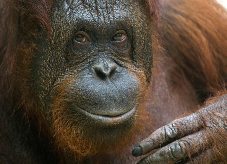 Une femelle orang-outan au Zoopark de Beauval à Saint-Aignan, le 19 juillet 2014. © AFP