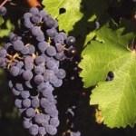La cosecha de uva sobrepasó los 24 millones de kilos