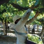 Ya se cosecharon cerca de 25 millones de kilos de uva