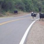 Animales sueltos en la ruta: un problema sin solución