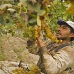 La cosecha ya superó los 30 millones de kilos de uva