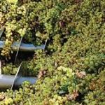 La cosecha de uva ya superó los 37 millones de kilos