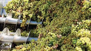 cosecha de uva cafayate