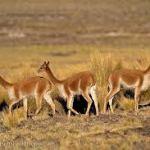 Nuevo relevamiento de vicuñas