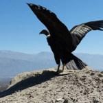 Liberaron a los cóndores andinos
