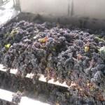 Se llevan cosechados más de diez millones de kilos de uva