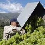 La cosecha pasó los 35 millones de kilos de uva