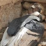 Rescataron un cóndor que había caído enfermo