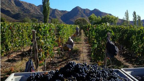 0 cosecha de uva en cafayate