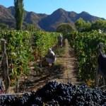 Hasta el 6 de mayo se habían cosechado más de 42 millones de kilos de uvas