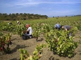Vinyes vi vinya agricultura pagesia / DO Empordà