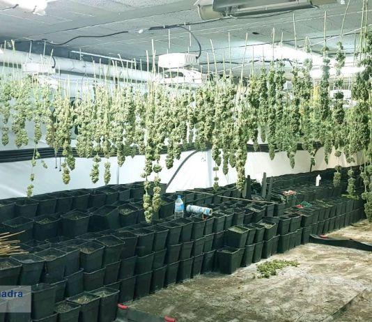 La plantació de marihuana a Vulpellac | Imatge dels Mossos