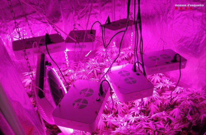 Plantació de Marihuana a Santa Cristina d'Aro | Imatge dels Mossos d'Esquadra