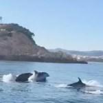 Un grup de dofins a Sant Feliu de Guíxols | Imatge del vídeo de Nuri Rabell