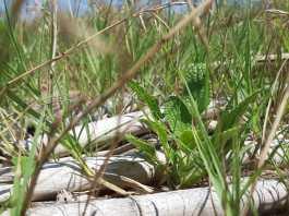 privat:-begur-avanca-en-la-proteccio-d'un-sistema-dunar-propi-amb-gran-valor-ecologic