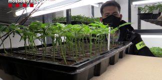Algunes de les plantes de marihuana trobades | Imatge dels Mossos d'Esquadra via ACN