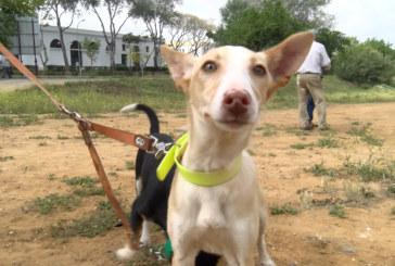 Cartaya Tv | Prueba de Trabajos de Cachorros de hasta 1 año «Podenco y Maneto»