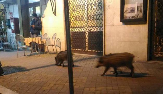 """Cassino – Ai cinghiali piace lo """"shopping"""". Continuano a scendere in città tra curiosità e paura"""