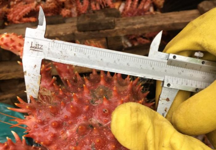 Chiloé: incautan recurso centolla bajo talla mínima.