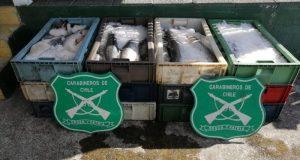 Chacao: decomisan más de 500 kilos de salmón.