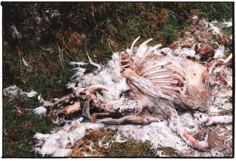 Dead Sheep - Isle of Skye, Sept 2001