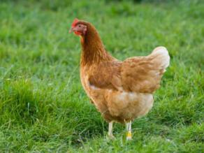 γρίπης των πτηνών
