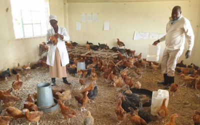 Lockdown Impact – Classrooms Occupied by Chickens