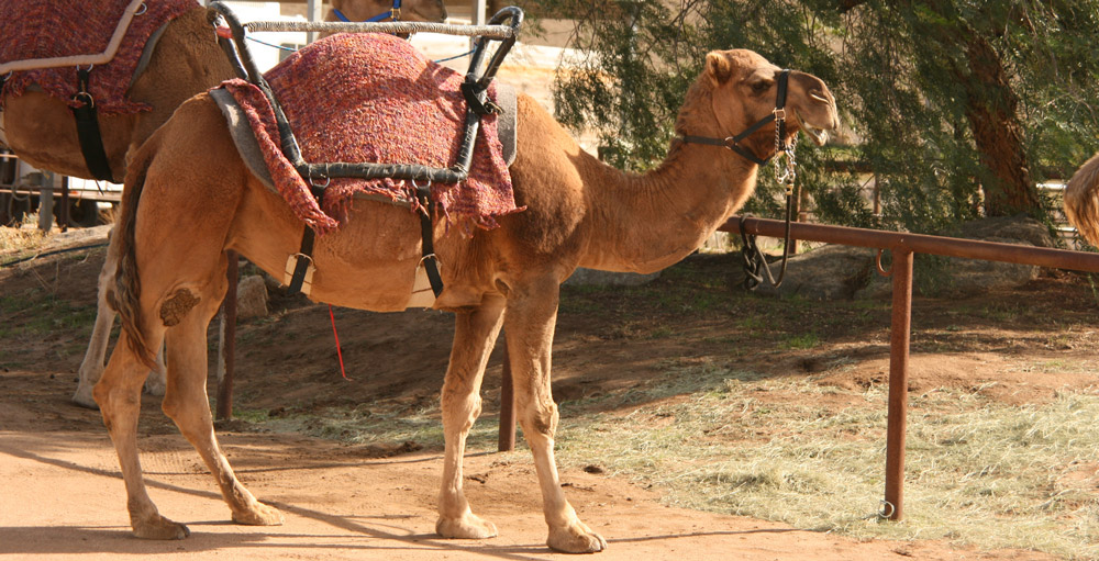 """[LISTEN] Ml Sulaiman Moola: """"Tie Your Camel, But Don't Strangle It."""""""