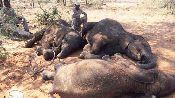 ¿Pueden ser los pobres ecologistas? El capitalismo ha convertido a los pobres en los más peligrosos depredadores - cruel-matanza-de-elefantes-en-Botswana.