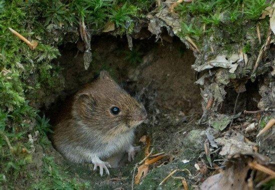 Ante el miedo algunos roedores recurren al sexo - Ante-el-miedo-algunos-roedores-recurren-al-sexo_image_380