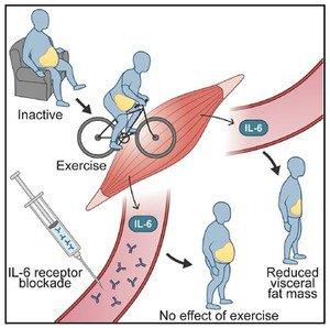 El ejercicio sí reduce la grasa abdominal y la clave puede estar en la interleucina - 189184_large